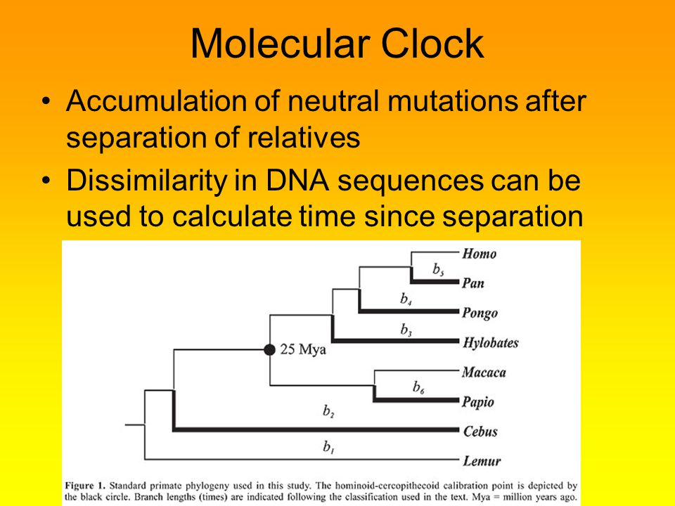Molecular Clock Accumulation of neutral mutations after separation of relatives.