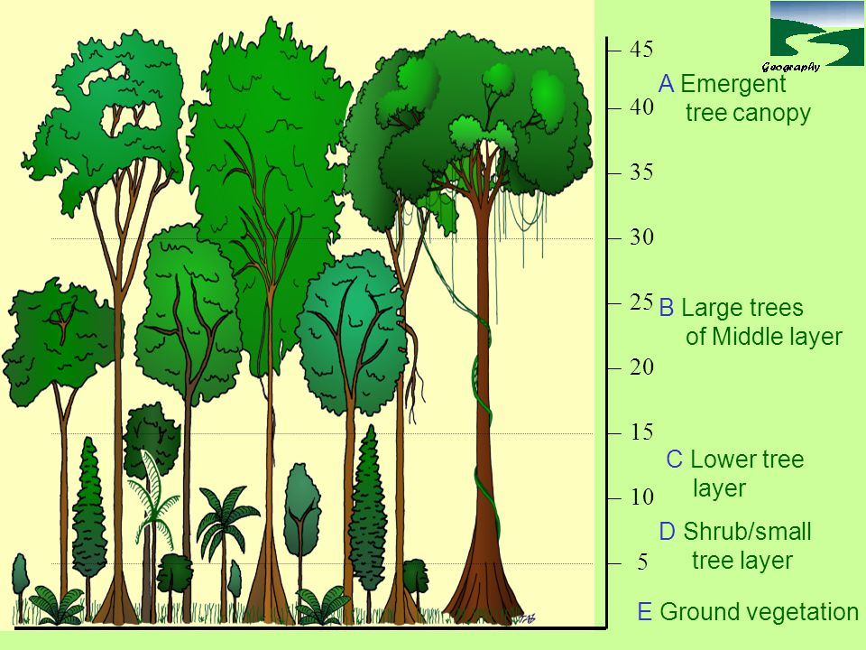 5 10. 15. 20. 25. 30. 35. 40. 45. A Emergent. tree canopy. B Large trees. of Middle layer.