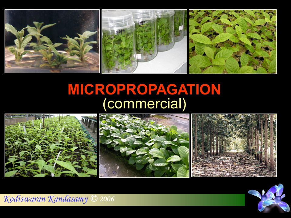 MICROPROPAGATION (commercial)