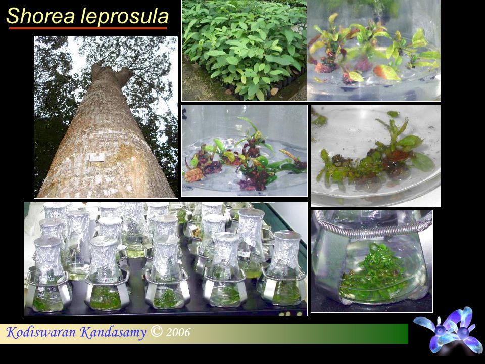 Shorea leprosula