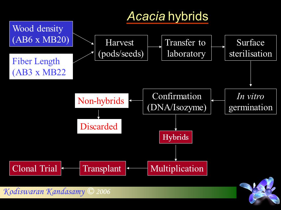 Acacia hybrids Wood density (AB6 x MB20) Harvest (pods/seeds)