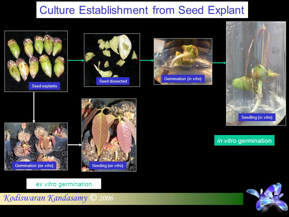 Culture Establishment from Seed Explant