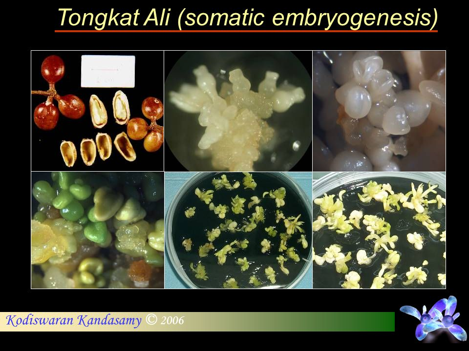 Tongkat Ali (somatic embryogenesis)