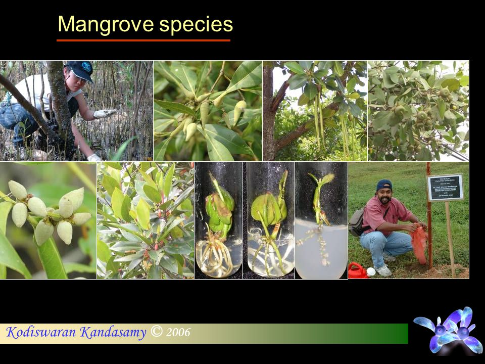 Mangrove species