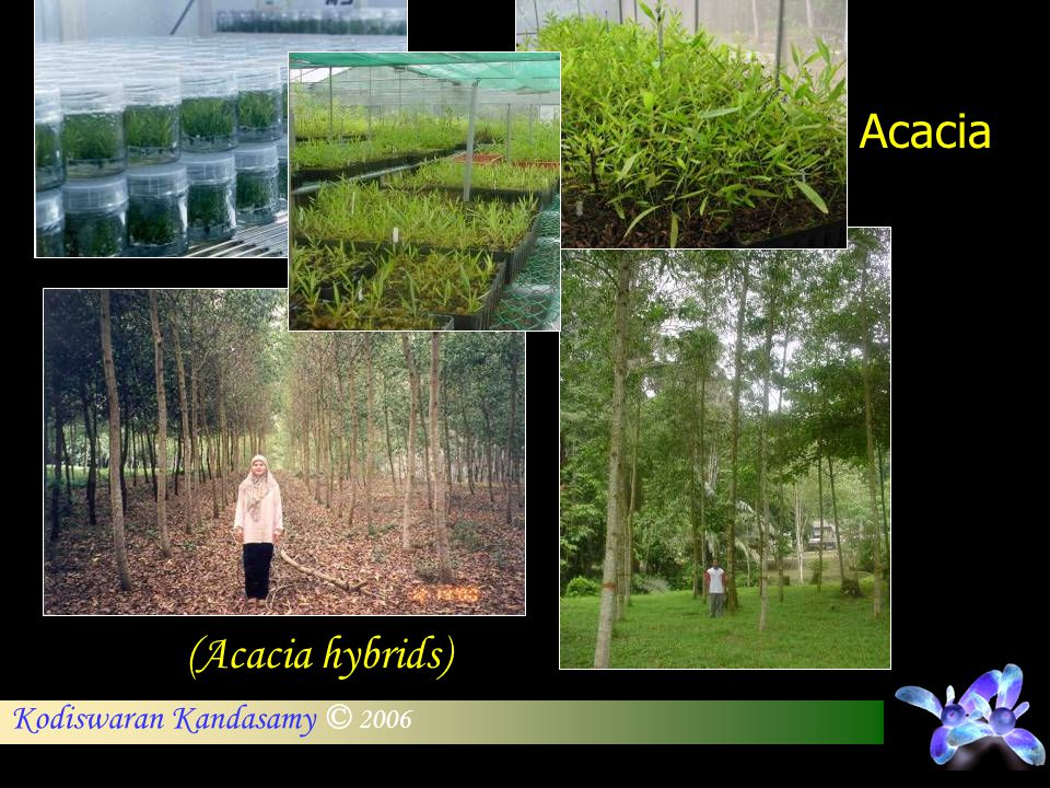 Acacia (Acacia hybrids)