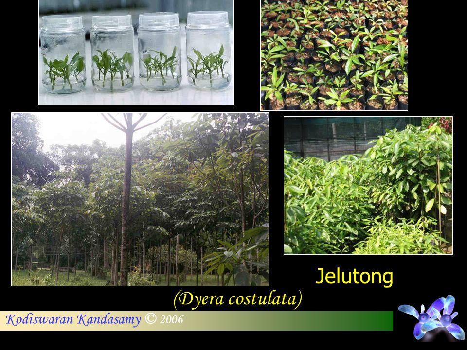 Jelutong (Dyera costulata)