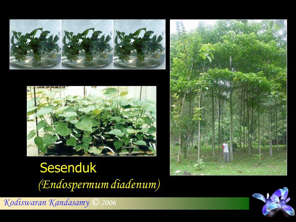 Sesenduk (Endospermum diadenum)