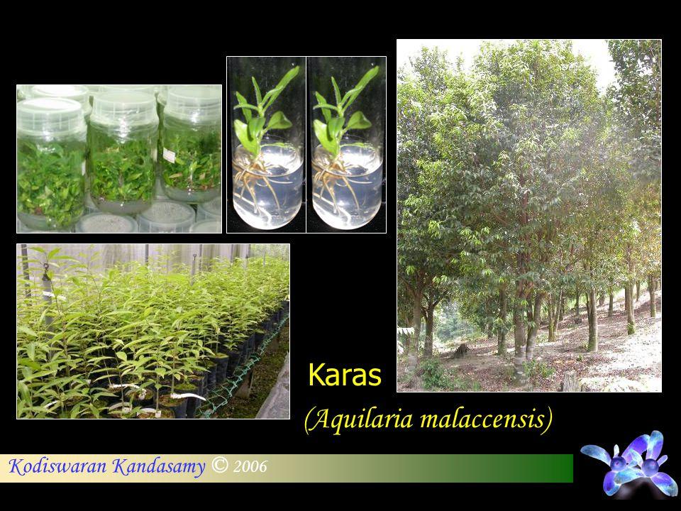 Karas (Aquilaria malaccensis)