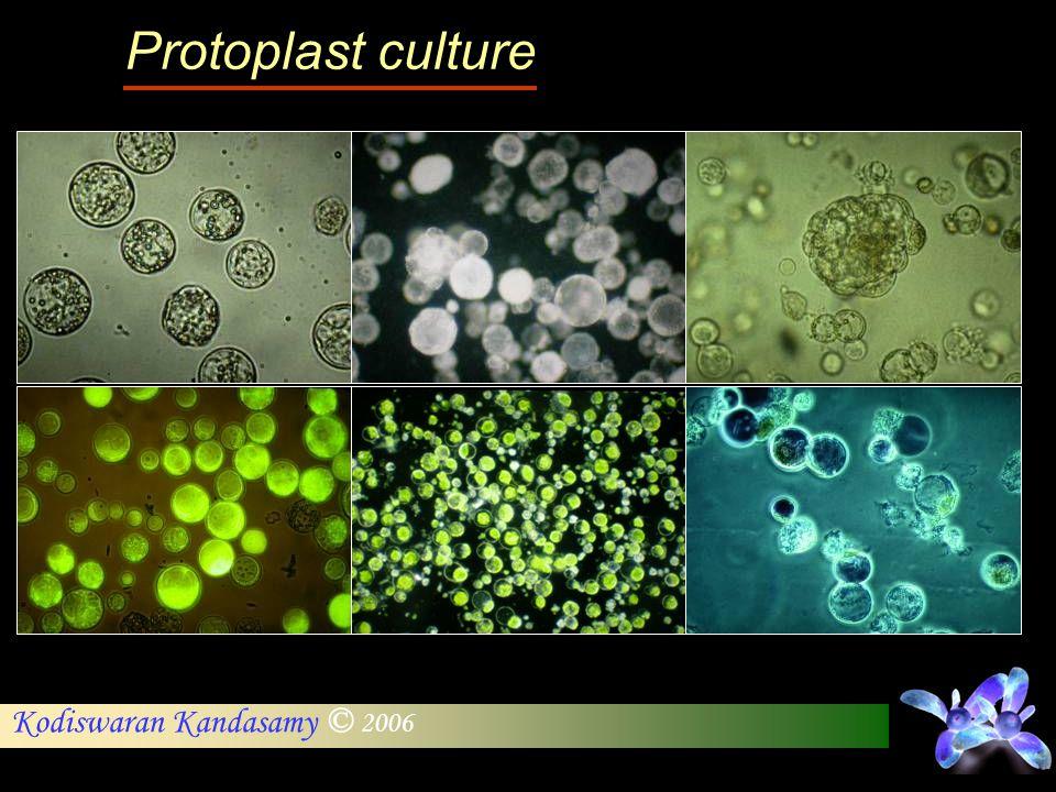 Protoplast culture