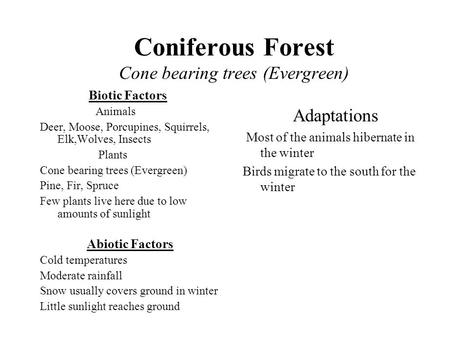 Coniferous Forest Cone bearing trees (Evergreen)