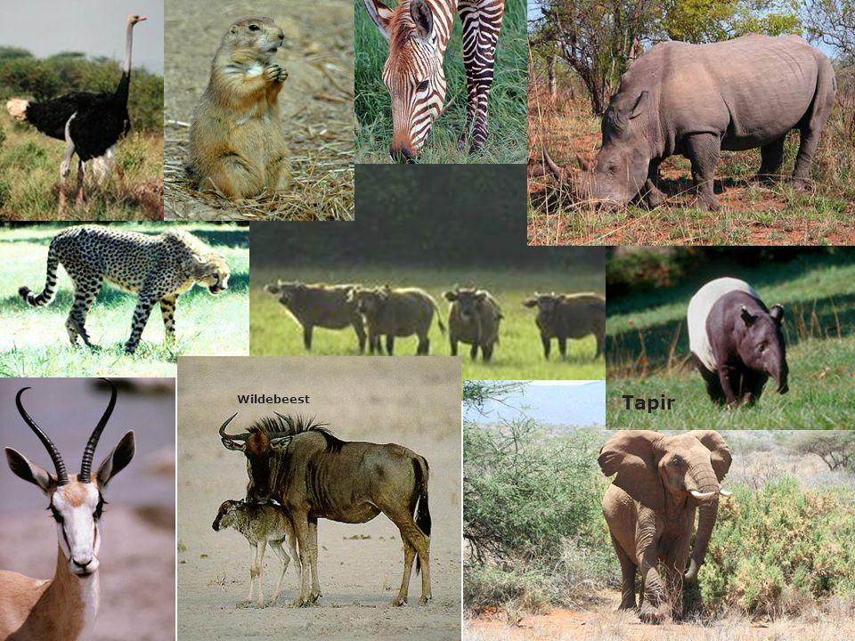Tapir Wildebeest