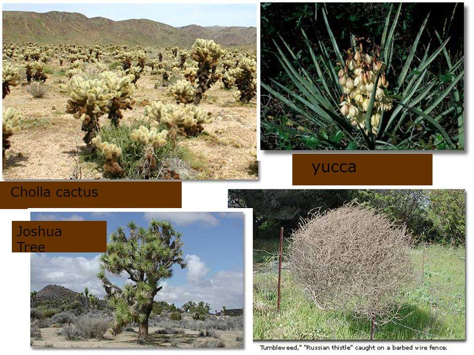 yucca Cholla cactus Joshua Tree