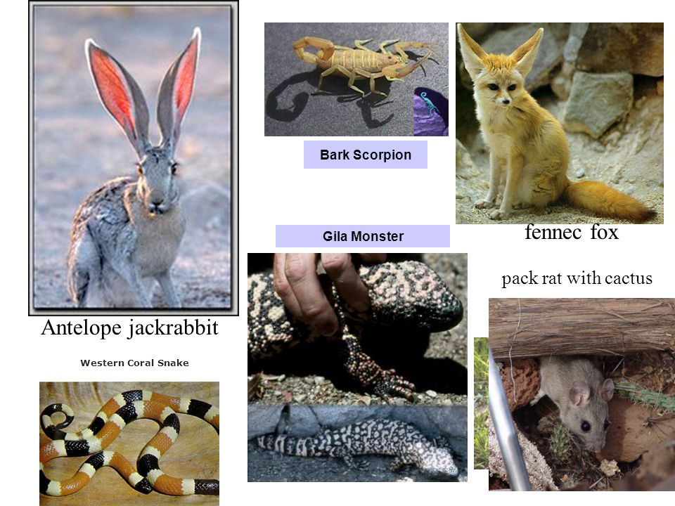 fennec fox Antelope jackrabbit pack rat with cactus Bark Scorpion