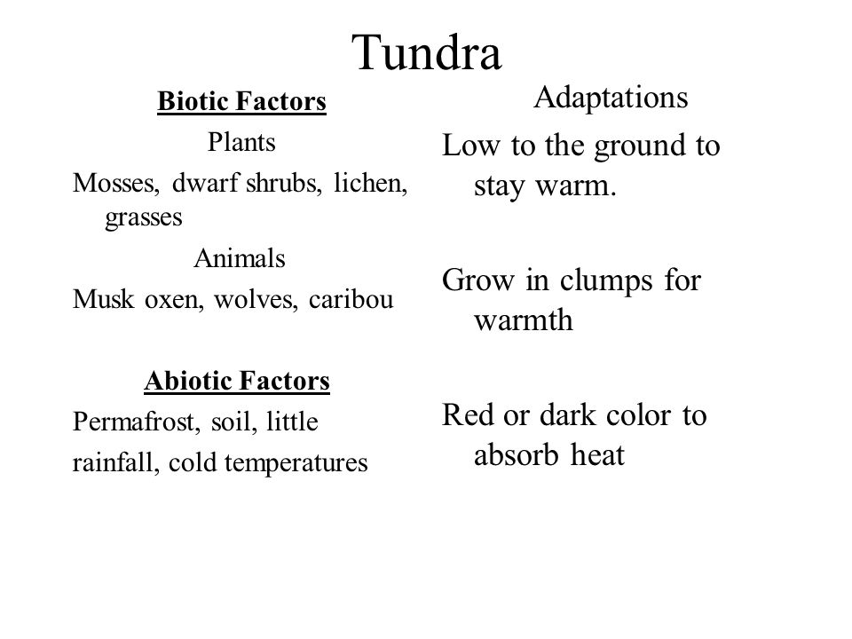 Tundra Adaptations Low to the ground to stay warm.