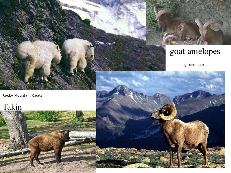 goat antelopes Big Horn Ram Rocky Mountain Goats Takin