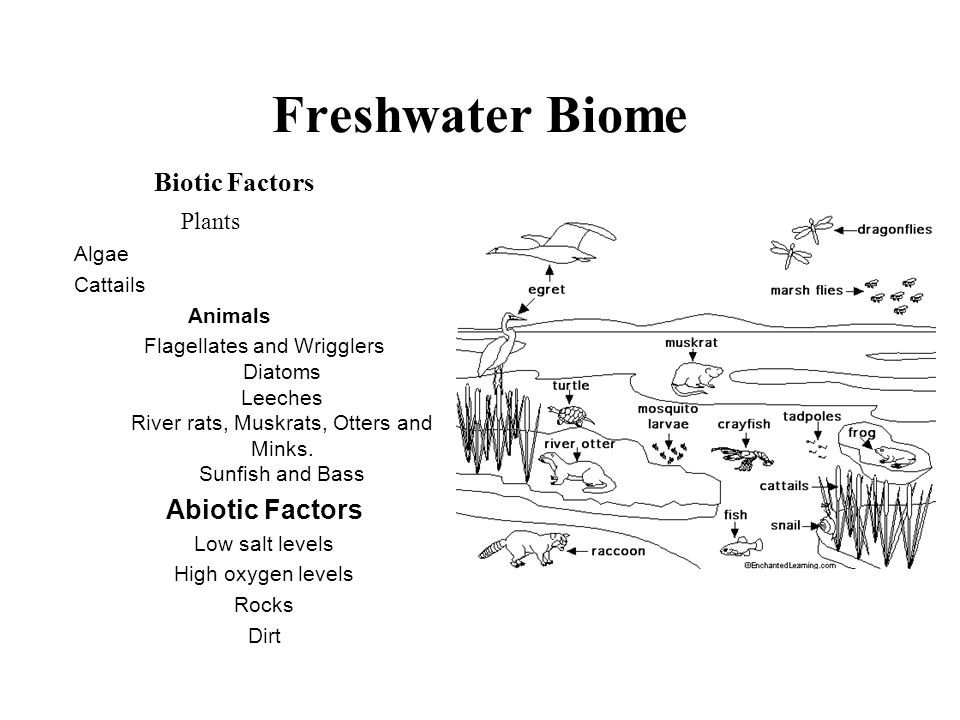 Freshwater Biome Biotic Factors Plants Abiotic Factors Algae Cattails