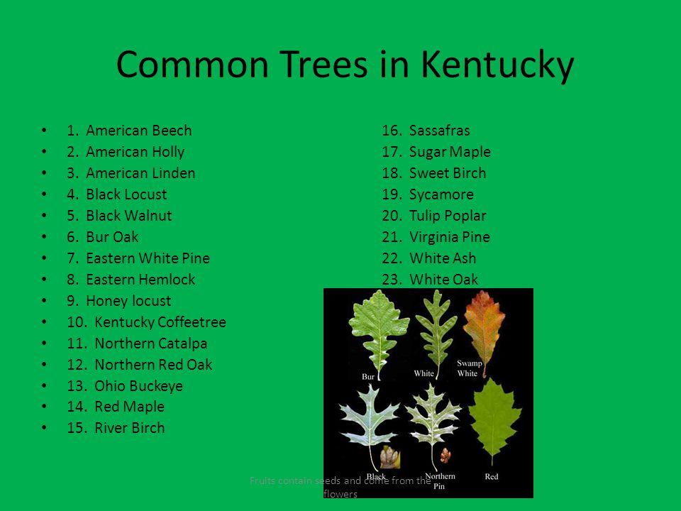 Common Trees in Kentucky
