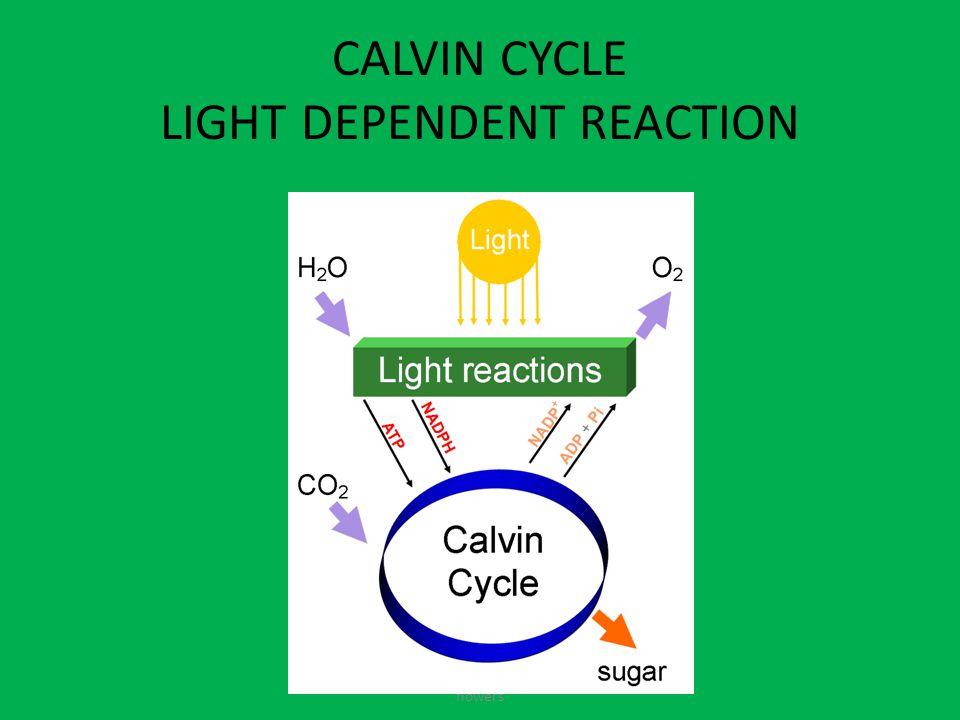 CALVIN CYCLE LIGHT DEPENDENT REACTION