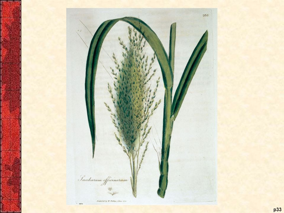 Saccharum Officinarum (sugar cane)