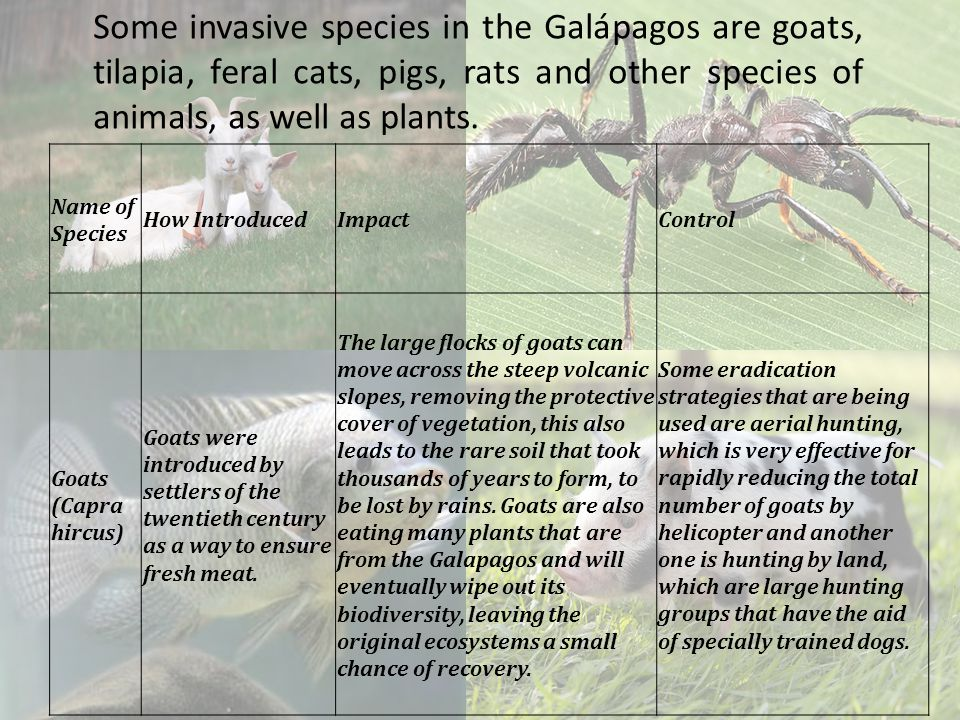 Some invasive species in the Galápagos are goats, tilapia, feral cats, pigs, rats and other species of animals, as well as plants.