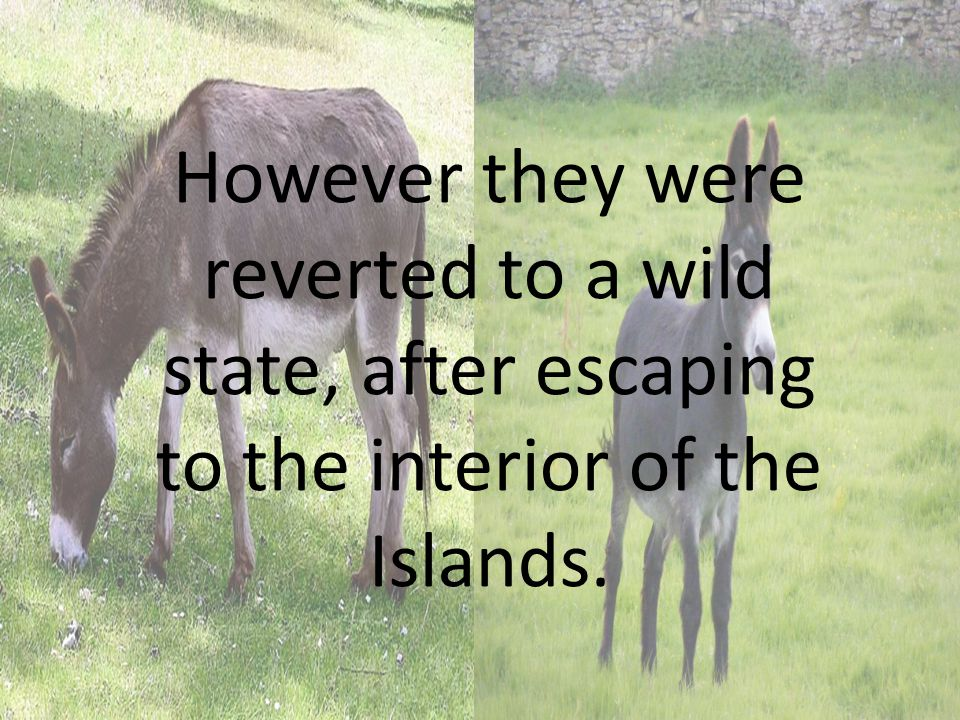 However they were reverted to a wild state, after escaping to the interior of the Islands.