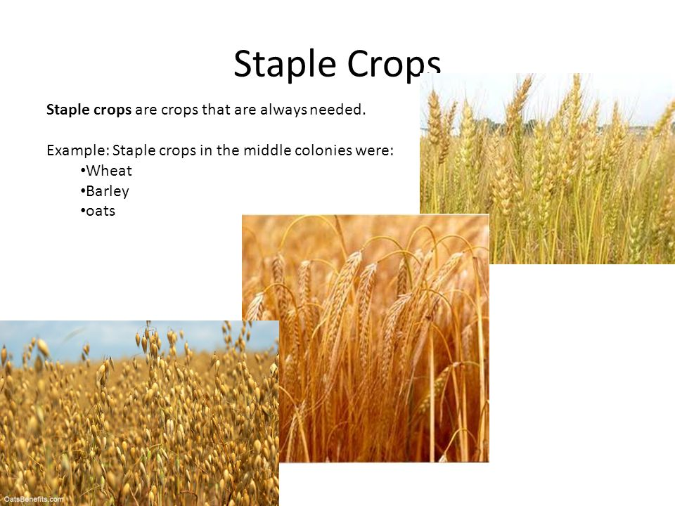 Staple Crops Staple crops are crops that are always needed.