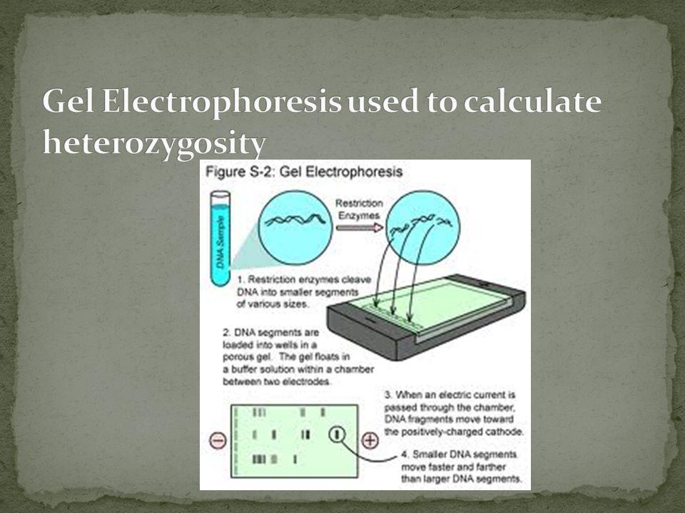 Gel Electrophoresis used to calculate heterozygosity