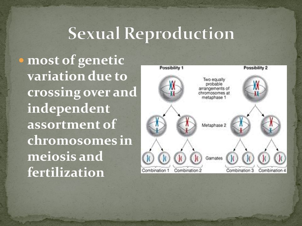 Sexual Reproduction most of genetic variation due to crossing over and independent assortment of chromosomes in meiosis and fertilization.