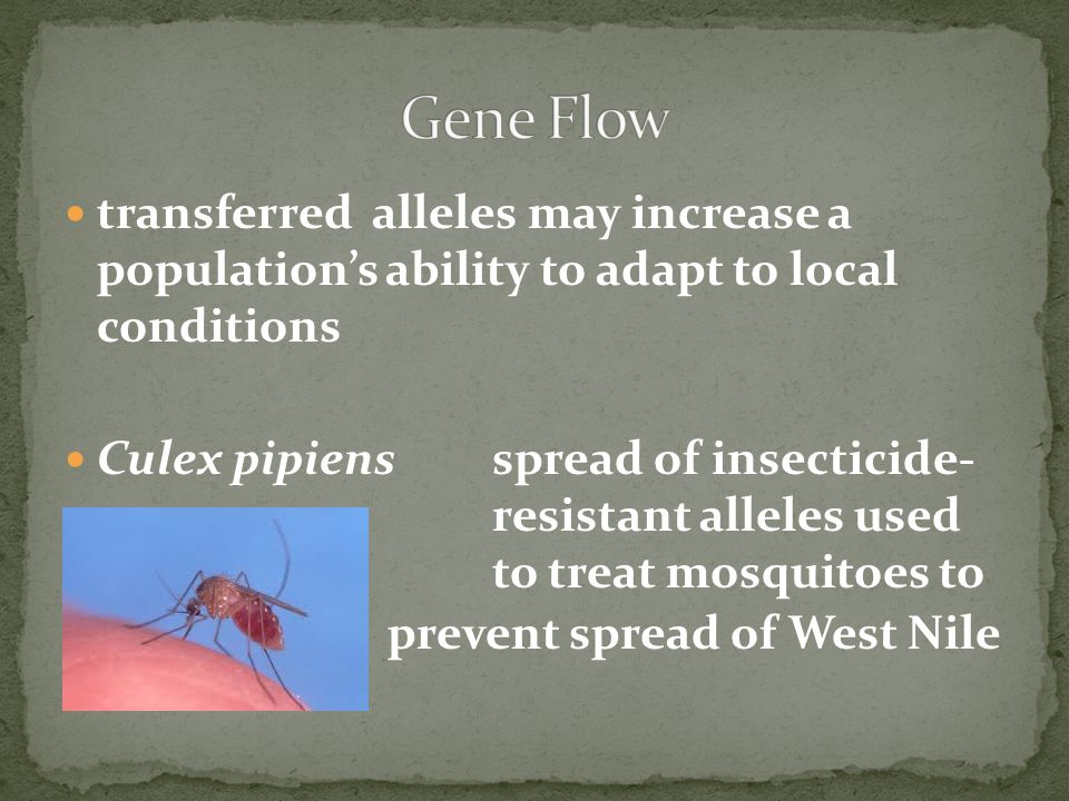 Gene Flow transferred alleles may increase a population's ability to adapt to local conditions.