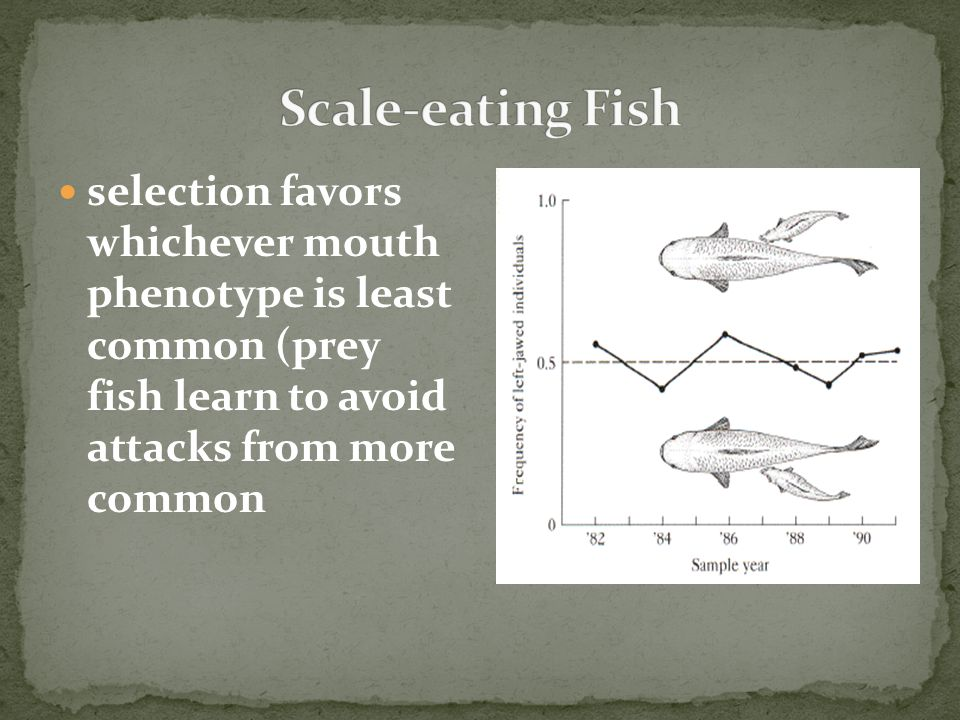 Scale-eating Fish selection favors whichever mouth phenotype is least common (prey fish learn to avoid attacks from more common.