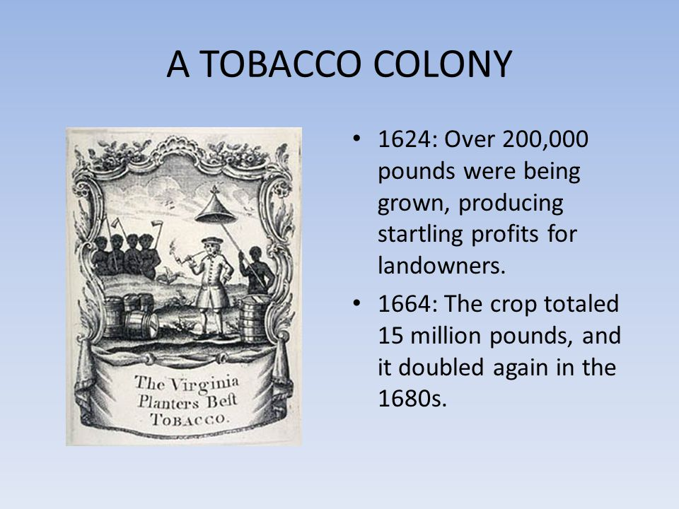 A TOBACCO COLONY 1624: Over 200,000 pounds were being grown, producing startling profits for landowners.