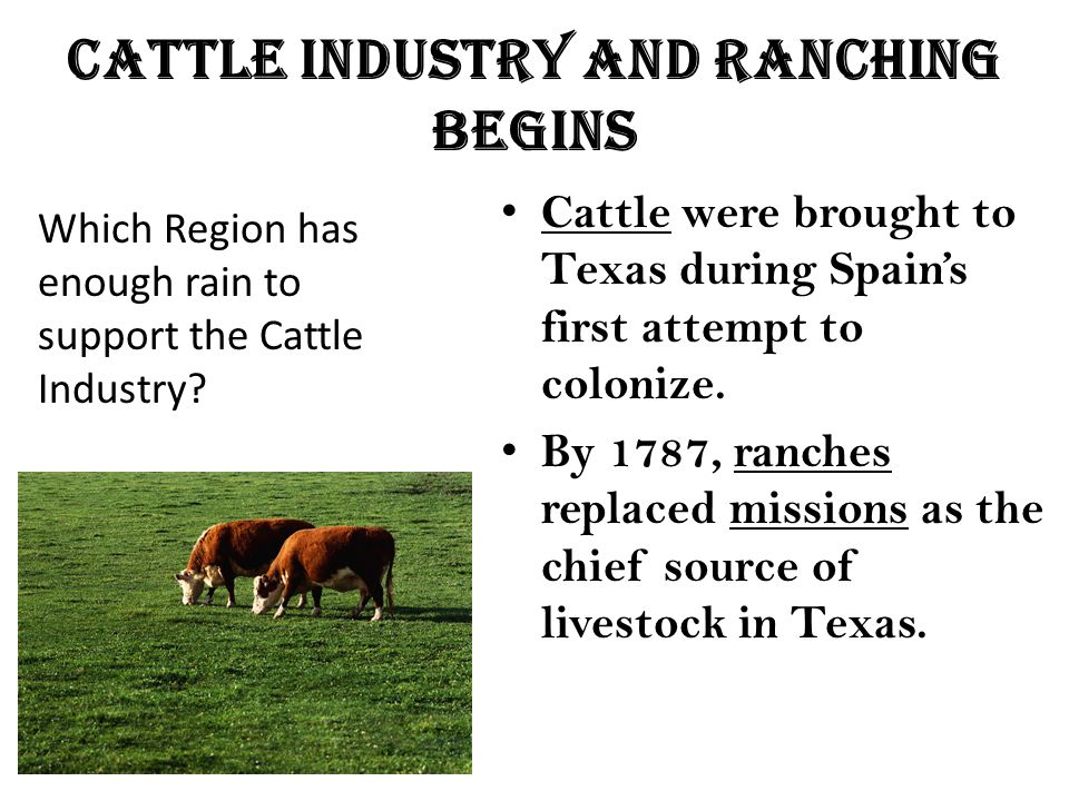 Cattle industry and ranching begins