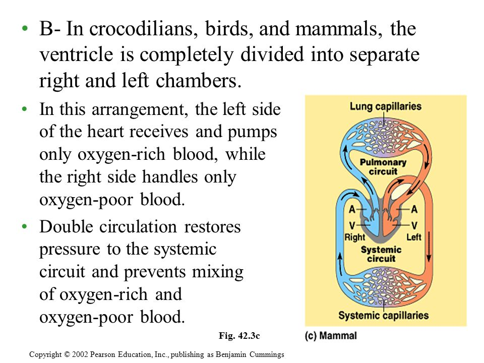 B- In crocodilians, birds, and mammals, the ventricle is completely divided into separate right and left chambers.