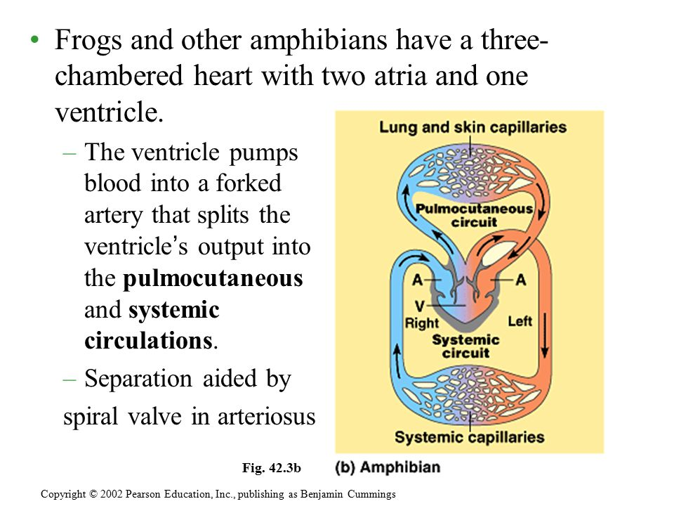 Frogs and other amphibians have a three-chambered heart with two atria and one ventricle.