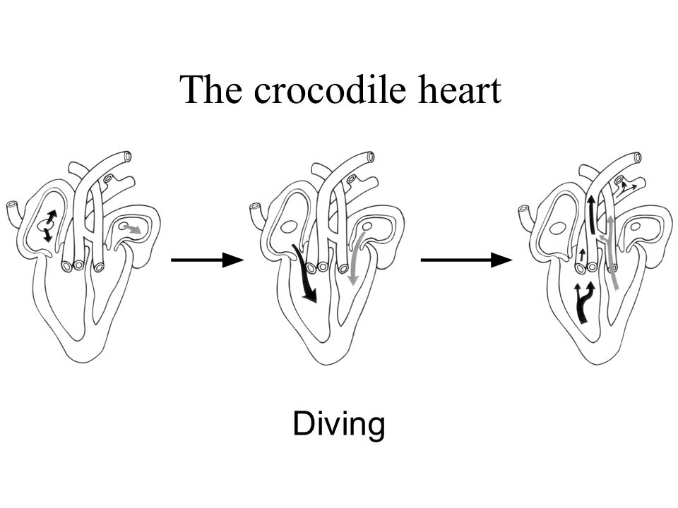 The crocodile heart Diving