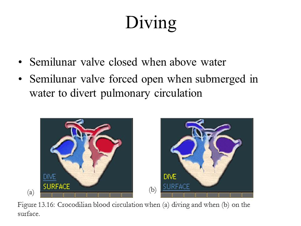 Diving Semilunar valve closed when above water
