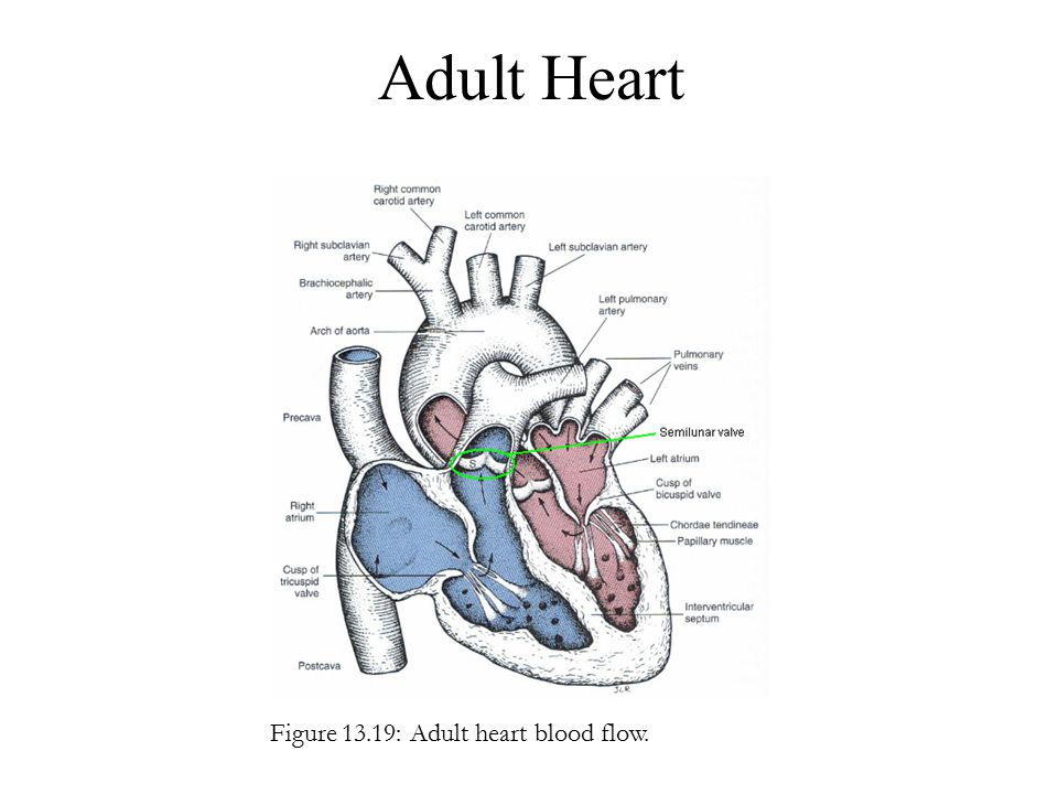 Adult Heart Figure 13.19: Adult heart blood flow.
