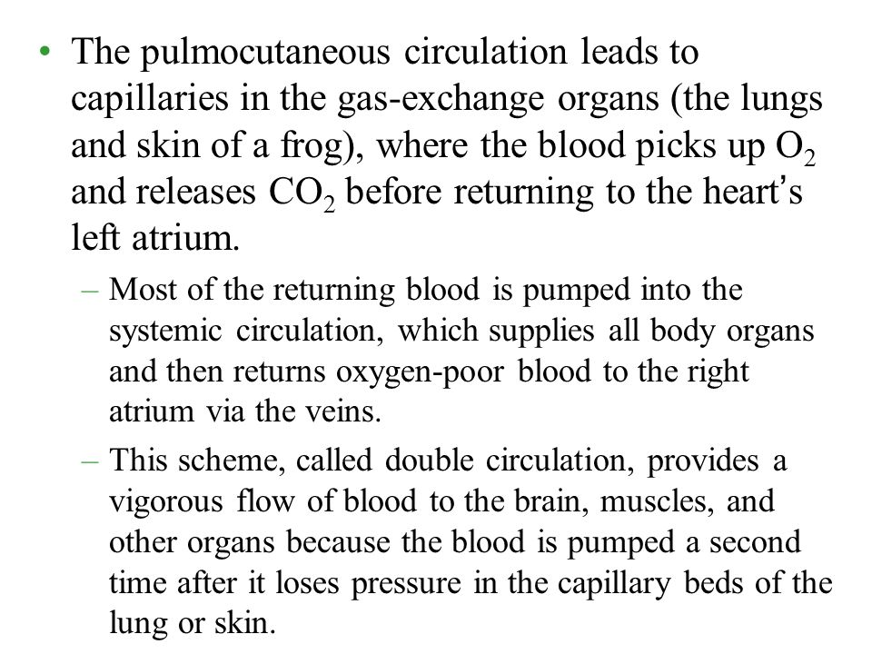 The pulmocutaneous circulation leads to capillaries in the gas-exchange organs (the lungs and skin of a frog), where the blood picks up O2 and releases CO2 before returning to the heart's left atrium.