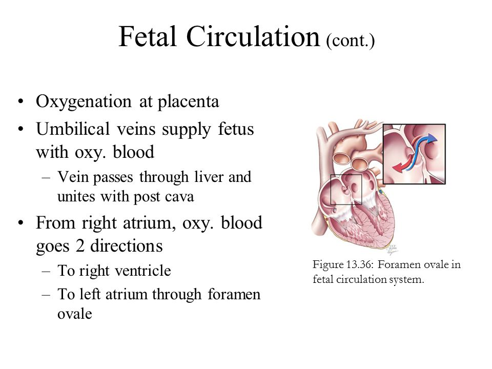 Fetal Circulation (cont.)
