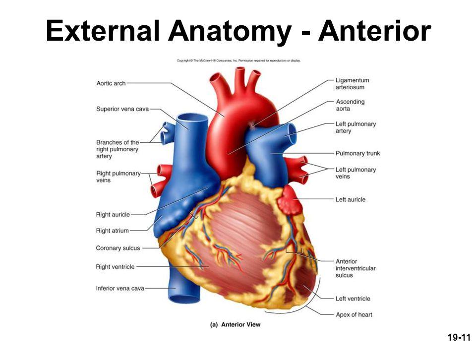 External Anatomy - Anterior