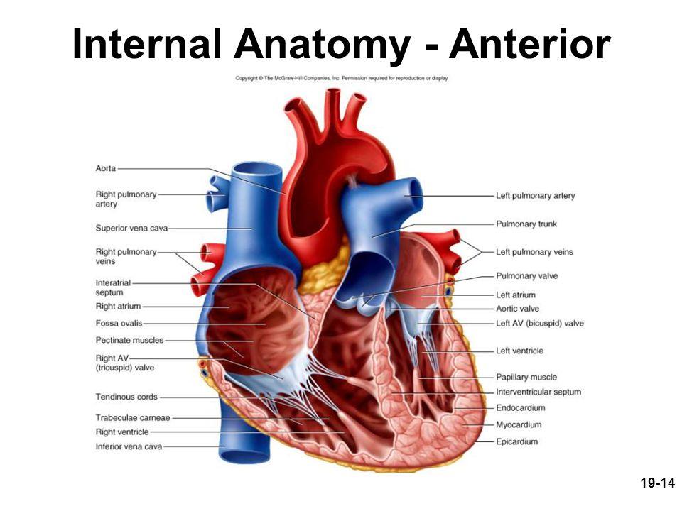 Internal Anatomy - Anterior