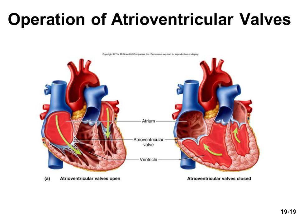 Operation of Atrioventricular Valves
