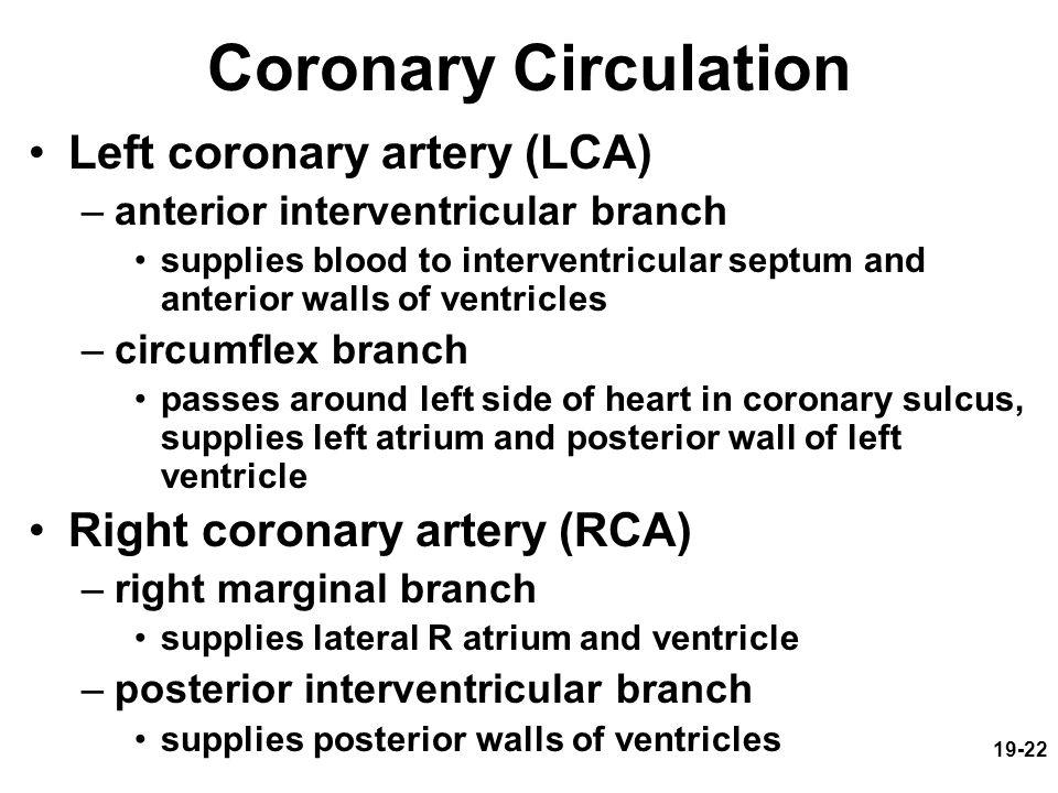 Coronary Circulation Left coronary artery (LCA)