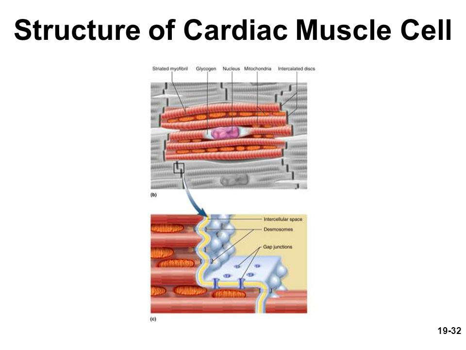 Structure of Cardiac Muscle Cell