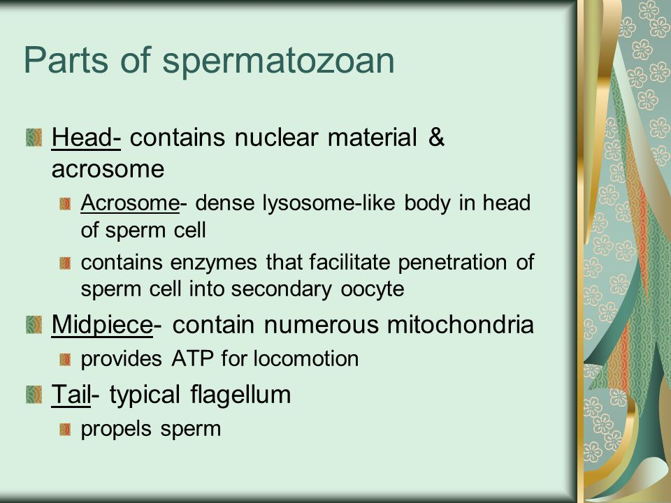 Parts of spermatozoan Head- contains nuclear material & acrosome
