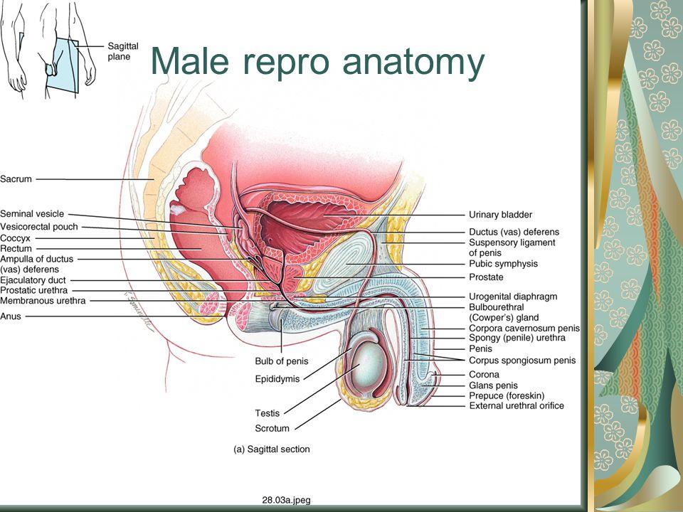 Male repro anatomy