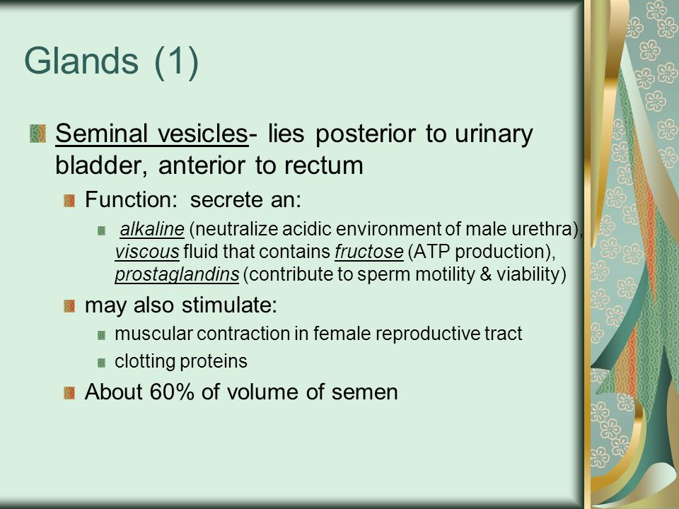 Glands (1) Seminal vesicles- lies posterior to urinary bladder, anterior to rectum. Function: secrete an: