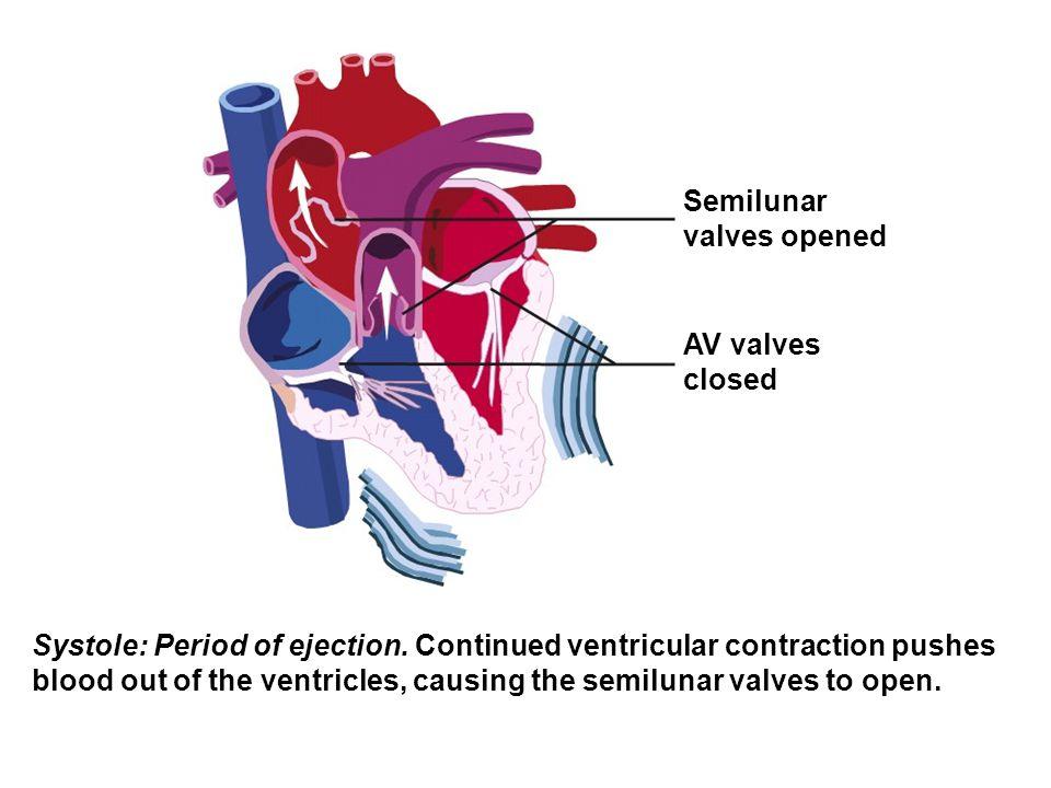 Semilunar valves opened. AV valves. closed.