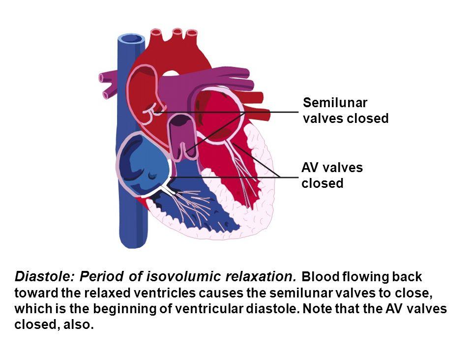 Semilunar valves closed. AV valves. closed.