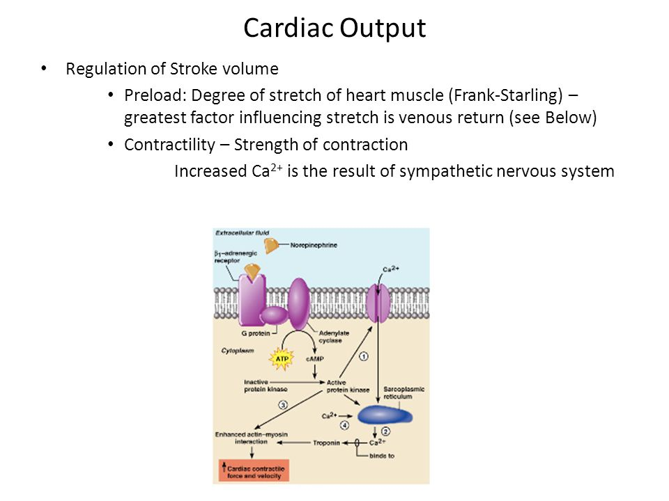 Cardiac Output Regulation of Stroke volume